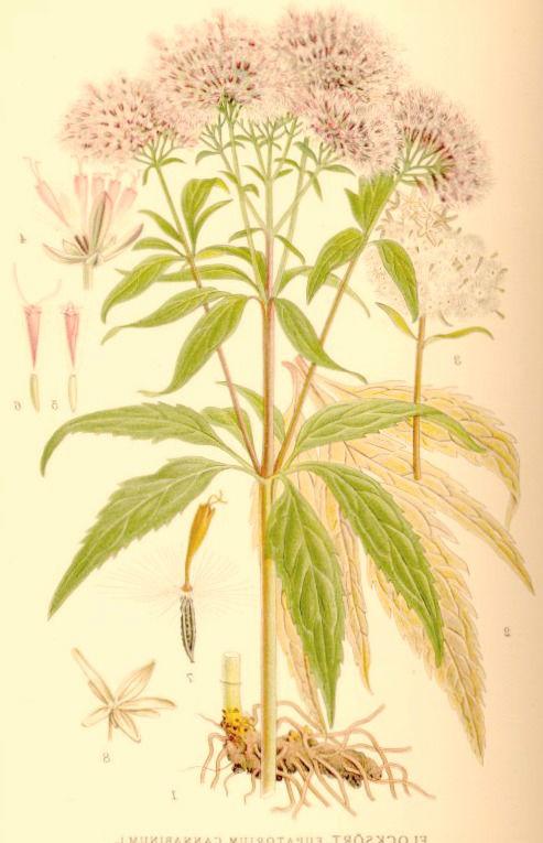 plantes-phytotherapie
